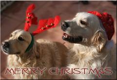 To all my flickr friends!! (Ubierno) Tags: feliznavidad felizañonuevo merrychristmas happynewyear navidad christmas 聖誕節快樂 عيدميلادسعيد 메리크리스마스 joyeuxnoël καλάχριστούγεννα חגשמח मेरीक्रिसमस boldogkarácsonyt nollaigshona buonnatale メリークリスマス feliznatal crăciunfericit счастливогорождества mutlunoeller क्रिसमस weihnachten 크리스마스 noël évzáró kerstmis ubierno 2018 perro chien dog madra الكلب 狗 σκύλοσ כלב 개 कुत्ता hond hund kutya köpek สุนัข cão собака alma golden retriever goldenretriever cachorro puppy bimba