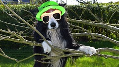 These St Patrick's Pictures Seamus all (ASHA THE BORDER COLLiE) Tags: funny st patricks day dog picture quote tree paddy hat glasses ashathestarofcountydown connie kells county down photography