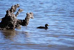 Black Scooter (Fido Cat) Tags: nature frippisland southcarolina birds storks woodstork herons greenheron midnightheron egret