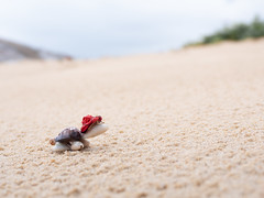 Toy tortoise in red hat climbing up slope in beach (DanliePhoto) Tags: analogy beach climbing copyspace doonesutmost effort exert forward funny inspiring nature redhat sands sandy slope struggle tortoise toy toytortoise turtle up walking