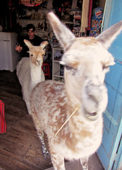 Llamas Loose in a Store ! (Alexander H.M. Cascone [insta @cascones]) Tags: grocery vicuna vicuña south america southamerica chile latinoamerica san pedro sanpedro sanpedrodeatacama atacama desert nature travel wildlife animal llama llamas store mayhem wild bodega retail