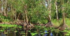 aspects of bongaree (paperbark wetlands) #1 (Fat Burns ☮) Tags: landscape swamp paperbarkforest melaleucaquinquenervia wetlands bongaree bribieisland melaleuca paperbarktrees nikond850 nature trees nikon2401200mmf40