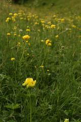 Globeflowers In Abundance (Derbyshire Harrier) Tags: yellow magura trolliuseuropaeus 2018 summer june transylvania romania globeflower