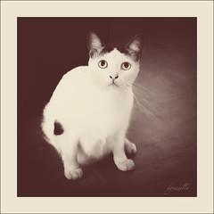 Shmeegle (Daniela 59) Tags: sliderssunday hss cat portrait shmeegle mydaughterscat sepia square squareformat danielaruppel