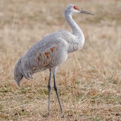 Sandhill Crane (Kevin E Fox) Tags: sandhillcrane pinerunreservoir buckscounty pennsylvania bird birding birdwatching birds nature nikond500 nikon sigma150600sport sigma