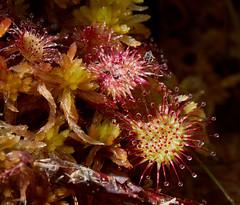 Drosera rotundifolia (Round-leaved Sundew) - with Sphagnum moss (Hugh Knott) Tags: droserarotundifolia roundleavedsundew flora anglesey wales uk droseraceae