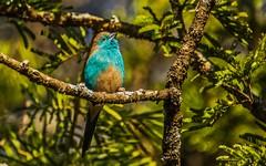 Southern Cordonbleu-274 (C&P_Pics) Tags: birds bluewaxbill choma musukulodgegrounds places southerncordonbleu waxbillsmuniasandallies zambia southernprovince zm