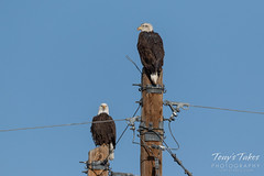 January 1, 2019 - Bald eagle pair over the South Platte River. (Tony's Takes)