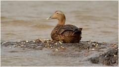 Female Common Eider. (Jeremy Eyeons) Tags: titchwell rspb hen female seaduck duck beach eider somateriamollissima norfolk northsea commoneider