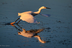 Adios for Now (dngovoni) Tags: merrittisland action background bird egret florida snowyegret sunrise water wildlife winter unitedstates us