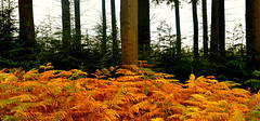 AUTUMN GOLD (chris .p) Tags: autumn croft parkland nikon d610 herefordshire england uk october 2018 trees wood fern colour tree view capture nt nationaltrust walk