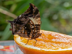 Tropical butterfly sitting on an orange / Tropischer Schmetterling auf einer Orange (berndkru) Tags: leicadgmacroelmarit12845 panasonicdcg9 schmetterling butterlfy tropisch tropical münchen munich munichbotanicalgarden botanischergartenmünchen exhibition ausstellung makro macro closeup