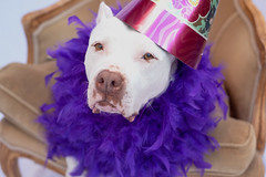 Paloma 12th Bday 2 (lauripiper) Tags: americanstaffordshireterrier pitbull 50mm palomatheprettypittie nikon d810 2018 birthday senior elderbull purple featherboa boa