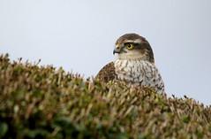 Sparrowhawk. (farrertracy) Tags: sparrowhawk sparrowhawkfemale raptor winter green brown yellow privet black bluesky predator gardenbird birdofprey