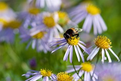 オオハナアブ Giant Hoverfly (takapata) Tags: sony sel90m28g ilce7m2 macro nature flower insect horsefly