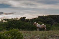 Evening Bask by Bradley Knight (Maryland DNR) Tags: 2018 photocontest wildlife mammals ponies horses assateague