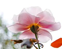 2018 Autumn rose (shinichiro*) Tags: 20181016sdim6141 2018 crazyshin sigmasdquattroh sdqh sigma1770mmf284dcmacrohsm october autumn yokohama 横浜イングリッシュガーデン rose flower macro 44145899290 4342249 201901gettyuploadesp