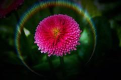 Toronto Ontario ~ Canada ~ Edwards Gardens ~ Botanical Garden ~ Glowing  Flower