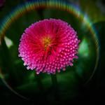 Toronto Ontario ~ Canada ~ Edwards Gardens ~ Botanical Garden ~ Glowing  Flower thumbnail