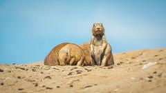 Prairiehonden (alowlandr) Tags: prairiedog land animalanimaltheme mammal sand wildlife animalsinthewild clearsky day nature nopeople sunlight relaxation surfacelevel wildlands emmen