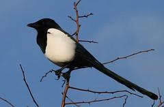Magpie 031218 (2) (Richard Collier - Wildlife and Travel Photography) Tags: birds britishbirds wildlife nature naturalhistory magpie rspb rspblodmoor dorset dorsetwildlife