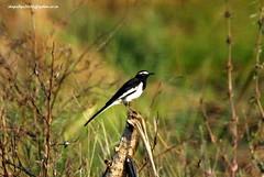 IMG_0582 White-browed Wagtail (Motacilla maderaspatensis) (vlupadya) Tags: greatnature bird animal aves fauna indianbirds whitebrpwed wagtail motacilla kundapura karnataka
