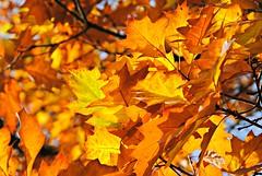 Autumn gold (Squatbetty) Tags: nikond3000 portinscale thelingholmestate cumbria lakedistrict keswick autumn