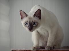 PC080825 (Vladimir V. Samoylov) Tags: 75mm animals cat e5markii mzuiko75mmf18 m43 micro43 microfourthirdsmicro43 olympus olympusm75mmf18 omd μ43