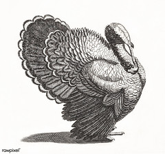A Turkey by Johan Teyler (1648-1709). Original from The Rijksmuseum. Digitally enhanced by rawpixel. (Free Public Domain Illustrations by rawpixel) Tags: pdproject animal antique art avian beak beautiful bird black breed decoration decorative design drawing elegance elegant etching farm fauna feather feathers fowl gray grey illustrated illustration johanteyler kitchen name nature old ornithology painting paper perched plumage portrait poultry retro rijksmuseum species standing style tail thanksgiving trait turkey vintage wild wildlife wing wings