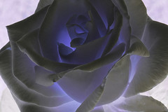 Enchanted Lavender Rose (Eclectic Jack) Tags: portland oregon internation rose test garden post processing process processed purple blue inverted color