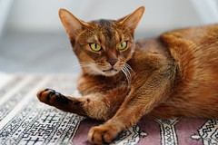 On the Karachian carpet (DizzieMizzieLizzie) Tags: abyssinian aby lizzie dizziemizzielizzie portrait cat feline gato gatto katt katze kot meow pisica sony neko gatos chat fe ilce 2018 ilce7m3 a7iii pose classic pet golden bokeh dof animal zeiss planar t f14 50mm za karachian carpet