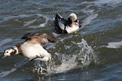 Splish splash (karsheg) Tags: ducks seaducks barnegatelighthousestatepark barnegat barnegatlight nature newjersey parks stateparks outdoors winter december seasons sea