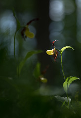 Frauenschuh (ciwi.photography) Tags: frauenschuh mehrfachbelichtung doubleexposure bokeh ladysslipper flower blume light flair unschärfe licht blüte wald stimmung waldstimmungpflanze hegau