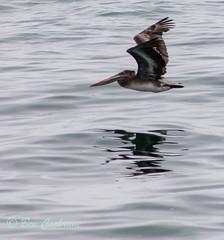 IMG_8246 (b_bev) Tags: montereybay monterey bay california usa wildlife sealife whales dolphins pelicans seals birdlife nature ocean sea