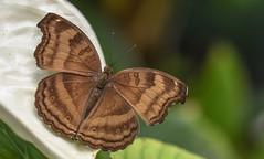 Chocolate pansy Butterfly (Torok_Bea) Tags: chocolate pansy butterfly chocolatepansy buterfly butterflyes bluebutterfly butterflys butterfy papilion pillangó nikon nikond7200 natur nature d7200 sigma sigmalens sigma105