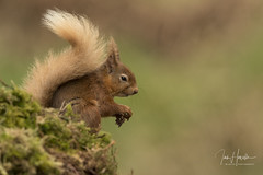 Red Squirrel (Ian howells wildlife photography) Tags: ianhowells ianhowellswildlifephotography nature naturephotography nationalgeographic canon canonuk wildlife wildlifephotography wild redsquirrel red