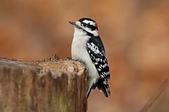Downy Woodpecker (kevinwg) Tags: downy woodpecker male downywoodpecker nature autumn woods stump tree
