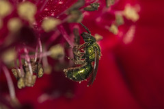 Red Background (Klaus Ficker --Landscape and Nature Photographer--) Tags: bee insect macro closeup red kentuckyphotography klausficker canon eos5dmarkiv tamron180mmmarco