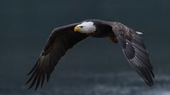 Eagle in flight (nickinthegarden) Tags: baldeagle americanbaldeagle eagle harrisonriver harrisonmillsbccanada