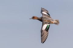 Flying Wigeon (Glenn.B) Tags: gloucestershire slimbridge wwt wwtslimbridge bird avian wildfowl wildlife nature wigeon
