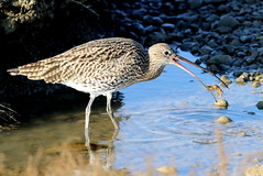 Curlew-7D2_0476-001 (cherrytree54) Tags: curlew rye harbour wader east sussex canon sigma 7d 150600