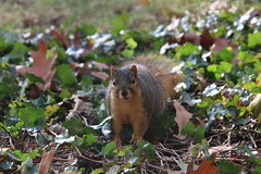 Fox Squirrels in Ann Arbor on the day before Thanksgiving at the University of Michigan on a Snowy Day - November 21st, 2018 (cseeman) Tags: gobluesquirrels squirrels foxsquirrels easternfoxsquirrels michiganfoxsquirrels universityofmichiganfoxsquirrels annarbor michigan animal campus universityofmichigan umsquirrels11212018 fall autumn eating peanuts acorns novemberumsquirrel snow snowy