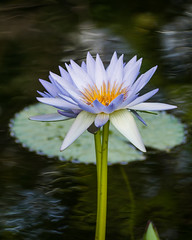 water lily (beautiful.betty18) Tags: perpetualchallenge waterlily flower challengeyouwinner cyunanimous pregame pregameiconwinner