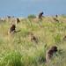Monkeys, Simien mountains, Ethiopia