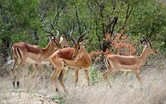 Elegance (__ PeterCH51 __) Tags: wildlife impala impalas antelope antelopes impalaantelopes animal wildanimal aepycerosmelampus elegant elegance krugerpark krugernationalpark southafrica za peterch51 mpumalanga kruegerpark