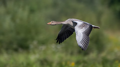 Greylag goose (JS_71) Tags: nature wildlife nikon photography outdoor 500mm bird new see natur pose moment outside animal flickr colour poland sunshine beak feather nikkor d7500 wildbirds