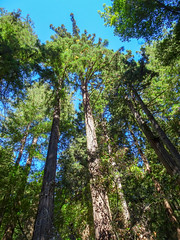 Muir Wood National Monument - San Francisco - California - USA (TravelMichi) Tags: muirwoodnm usa reisen californa travel