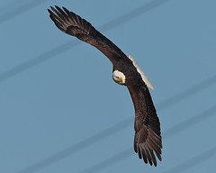 Bald Eagle (ftherit) Tags: bald eagle flight bird prey conowingo dam maryland usa canon 1dx ii 600mm