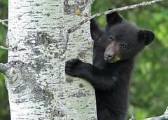 Black Bear Cub...#13 (Guy Lichter Photography - 4.5M views Thank you) Tags: canon 5d3 canada manitoba rmnp wildlife animal animals mammal mammals bear bears blackbear cub