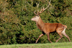 Red deer Stag (robin denton) Tags: fountainsabbey studleyroyal deer autumn deerpark reddeer animal mammal nature nationaltrust yorkshire northyorkshire